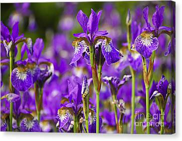 Irises Canvas Print by Elena Elisseeva