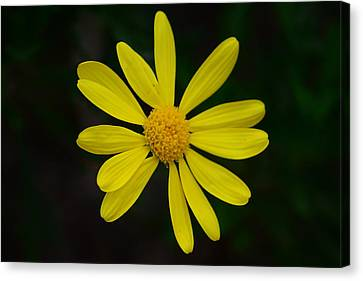 Canvas Print featuring the photograph Isolated Daisy by Debra Martz