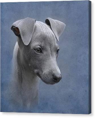 Italian Greyhound Puppy Canvas Print