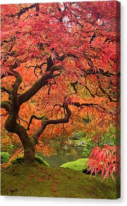 Japanese Maple In Fall Color, Portland Canvas Print by William Sutton