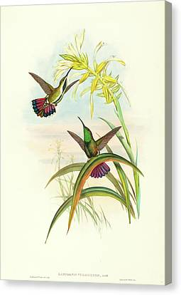 John Gould And H.c Canvas Print by Litz Collection