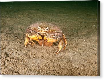 Jonah Crab With Eggs Canvas Print by Andrew J. Martinez