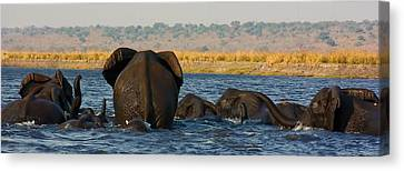 Canvas Print featuring the photograph Kalahari Elephants Crossing Chobe River by Amanda Stadther