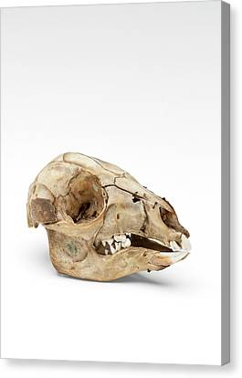 Kangaroo Skull Canvas Print by Ucl, Grant Museum Of Zoology