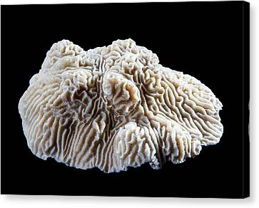 Knobby Canvas Print - Knobby Brain Coral by Natural History Museum, London
