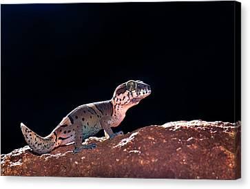 Kollegal Ground Gecko Canvas Print by K Jayaram