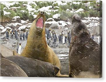 Elephant Seals Canvas Print - Large Bull Southern Elephant Seal by Ashley Cooper