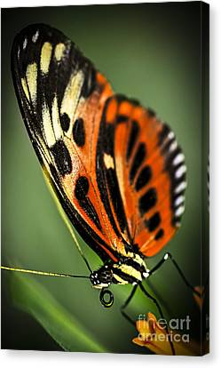 Large Tiger Butterfly Canvas Print by Elena Elisseeva