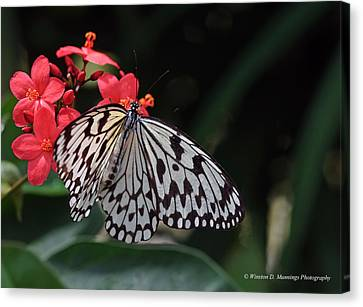 Large Tree Nymph Butterfly Canvas Print