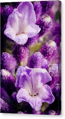 Lavender Canvas Print by Cathy Donohoue