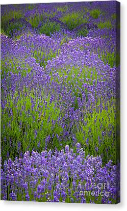 Lavender Study Canvas Print by Inge Johnsson