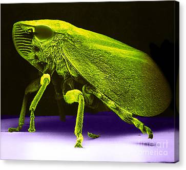 Leafhopper, Sem Canvas Print by David M. Phillips