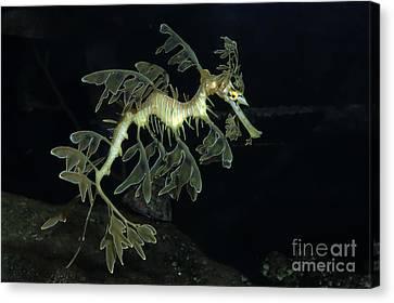 Leafy Seadragon Canvas Print