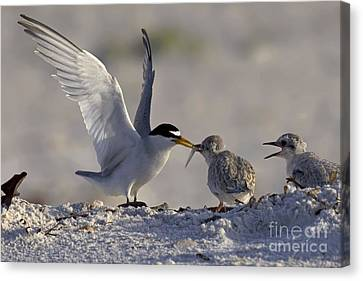 Least Tern Feeding It's Young Canvas Print by Meg Rousher