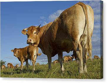 Limousin Cattle Canvas Print