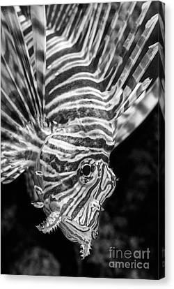 Lionfish Canvas Print by Jamie Pham