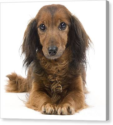 Long-haired Dachshund Canvas Print by Jean-Michel Labat
