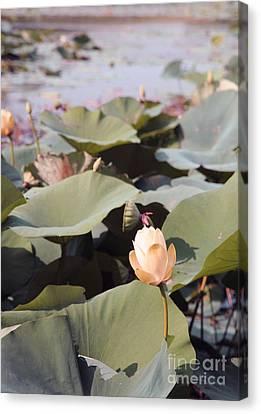 Lotus  Canvas Print by Amanda Barcon