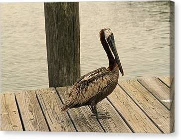 Louisiana Brown Pelican Canvas Print