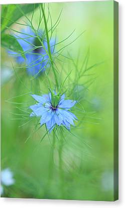 Love In A Mist Canvas Print