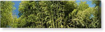 Low Angle View Of Bamboo Trees Canvas Print by Panoramic Images