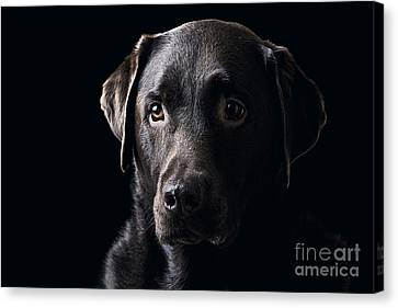 Low Key Chocolate Labrador Canvas Print by Justin Paget