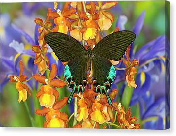 Luzon Peacock Swallowtail Butterfly Canvas Print by Darrell Gulin