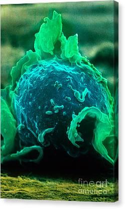 Colourized Canvas Print - Macrophage, Sem by David M. Phillips