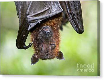 Malayan Flying Fox Canvas Print