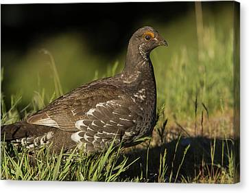 Male Blue Grouse At The National Bison Canvas Print by Chuck Haney