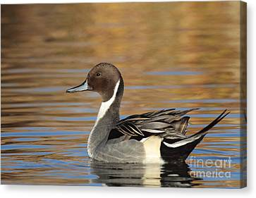 Male Pintail Canvas Print by Ruth Jolly