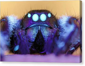 Male Regal Jumping Spider Canvas Print by Alex Hyde