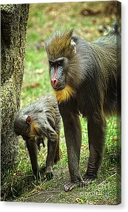 Mandrill Canvas Print - Mandrill by HD Connelly