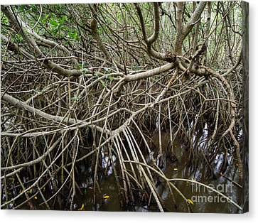 Mangrove Roots Canvas Print