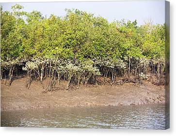 Mangroves In The Sunderbans Canvas Print by Ashley Cooper