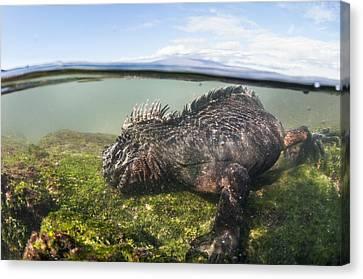 Marine Iguana Feeding On Algae Punta Canvas Print