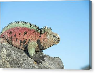 Marine Iguana Male In Breeding Colors Canvas Print by Tui De Roy
