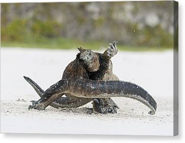 Marine Iguana Males Fighting Turtle Bay Canvas Print by Tui De Roy