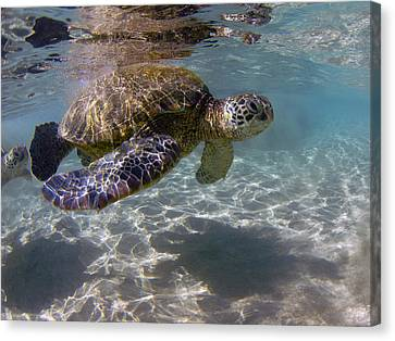 Maui Turtle Canvas Print