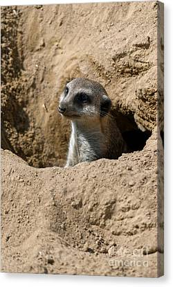 Meerkat Canvas Print by Design Windmill
