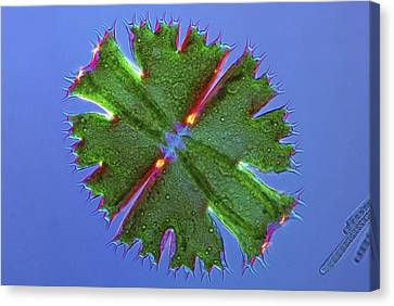 Micrasterias Desmid, Light Micrograph Canvas Print by Science Photo Library