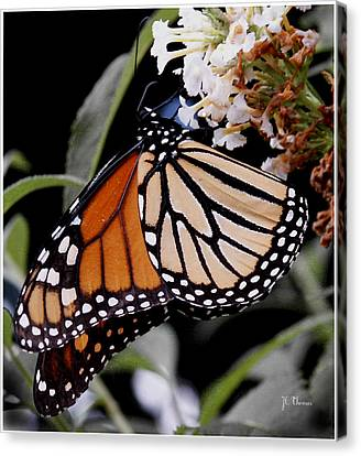 Monarch Butterfly Canvas Print by James C Thomas