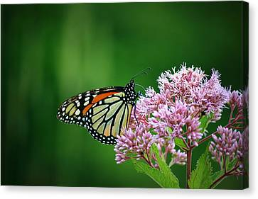 Monarch In Light  Canvas Print by Neal Eslinger