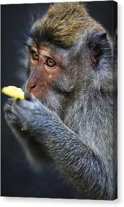 Monkey - Bali Canvas Print by Matthew Onheiber
