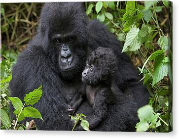 Mountain Gorilla And Infant Canvas Print by Suzi Eszterhas