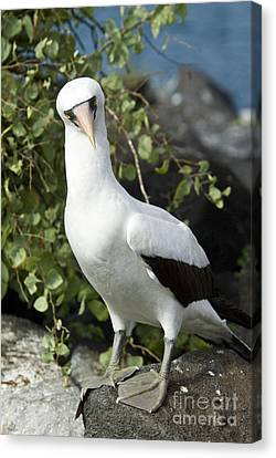 Nazca Booby Canvas Print by William H. Mullins