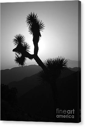 New Photographic Art Print For Sale Joshua Tree At Sunset Black And White Canvas Print by Toula Mavridou-Messer