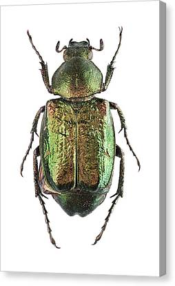 Noble Chafer Canvas Print