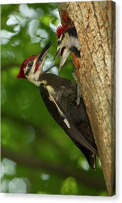 Pileated Woodpecker Canvas Print - North America, Usa, Central by Joe and Mary Ann Mcdonald