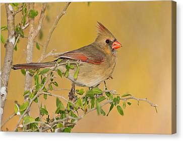 Northern Cardinal (cardinalis Cardinalis Canvas Print